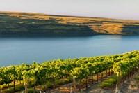 Vineyard Overlooking The Columbia River Fine Art Print