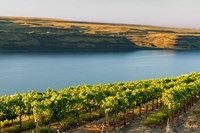 Vineyard Overlooking The Columbia River Fine Art Print