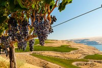 Merlot Grapes Hanging In A Vineyard Fine Art Print