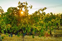 Sun Burst In A Vineyard Fine Art Print
