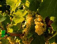 Sauvignon Blanc Grapes Fine Art Print