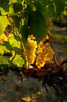 Harvest Time In A Vineyard Fine Art Print
