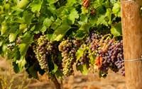 Wine Grapes In Veraison In A Vineyard Fine Art Print