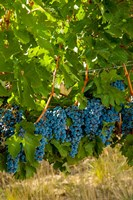 Cabernet Sauvignon Grapes Near Harvest Fine Art Print