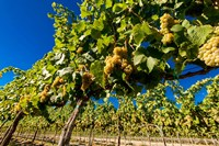 Riesling Grapes In A Columbia River Valley Vineyard Fine Art Print