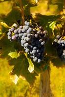 Grenache Grapes In A Columbia River Valley Vineyard Fine Art Print