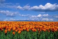 Orange Tulips In Skagit Valley, Washington State Fine Art Print