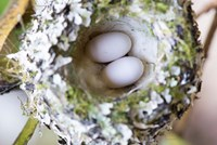 Rufous Hummingbird Nest With Eggs Fine Art Print