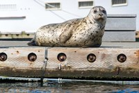 Harbor Seal  Out On A Dock Fine Art Print