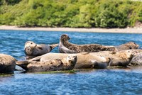 Harbor Seal Gathering At Liberty Bay Fine Art Print