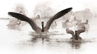 Canadian Geese Land In A Winter's Pond Fine Art Print