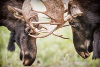 Close-Up Of Two Bull Moose Locking Horns Fine Art Print