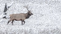 Bull Elk Walks In The Snow Fine Art Print