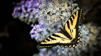 Western Tiger Swallowtail Butterfly On A Lilac Bush Fine Art Print