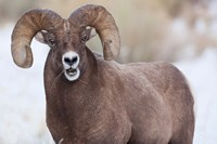 Bighorn Sheep With Grass In His Mouth Fine Art Print