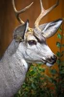 Close-Up Of A Mule Deer Fine Art Print
