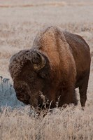 American Bison On A Frosty Morning Fine Art Print