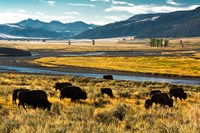 Bison Herd Feeding, Lamar River Valley, Yellowstone National Park Fine Art Print