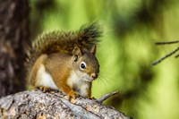 Red Tree Squirrel Posing On A Branch Fine Art Print