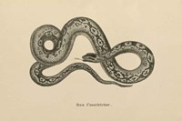 Vintage Boa Constrictor Fine Art Print