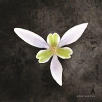 Contemporary Floral Trillium Fine Art Print