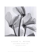 Cyclamen Study No.1 Fine Art Print