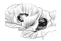 Sketched Poppies 3 Fine Art Print