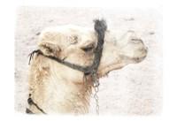 Camel 1 Fine Art Print