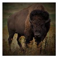 Vigilant Bison Fine Art Print