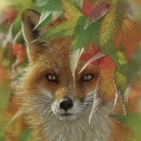 Autumn Red Fox Fine Art Print