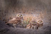 Burrowing Owl Fine Art Print