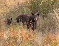 Black Bear Sow and Cub Fine Art Print