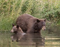 Black Bear Sow and Cub II Fine Art Print