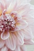 Blush Pink Dahlia Fine Art Print
