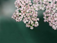 Blush Pink Flowers Fine Art Print
