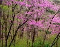 Redbud Tree Fine Art Print