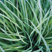 Grass with Morning Dew Fine Art Print