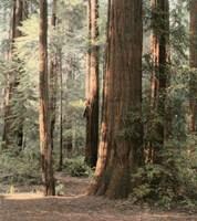 Redwoods 2 Fine Art Print