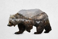The Kodiak Brown Bear Fine Art Print