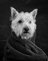 Portrait of a Westy Dog Fine Art Print