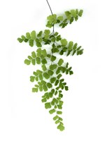 Green Maidenhair Fine Art Print