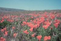 California Blooms I Fine Art Print