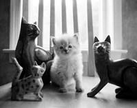 Ragdoll Kitten Fine Art Print