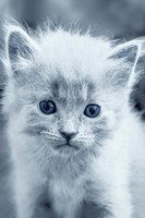 Blue Kitty Fine Art Print