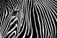 Zebra in Lisbon Zoo Fine Art Print