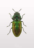 Beetle 1 Fine Art Print