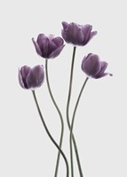 Tulips Purple Fine Art Print