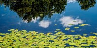 Water Lilies and Reflection Fine Art Print