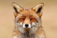 Zen Fox Red Portrait Fine Art Print