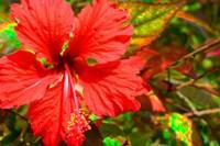 Red Hibiscus Fine Art Print